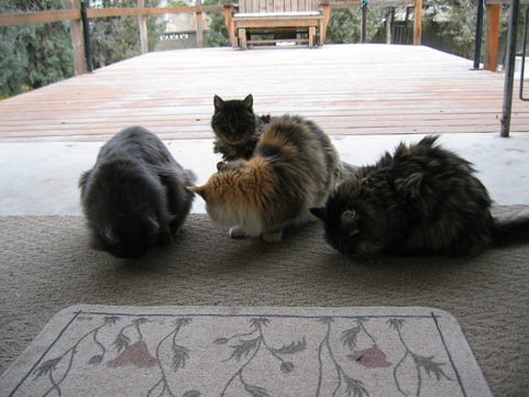 all 4 cats eating, well, one is looking at me