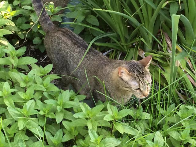 tabby mint plant