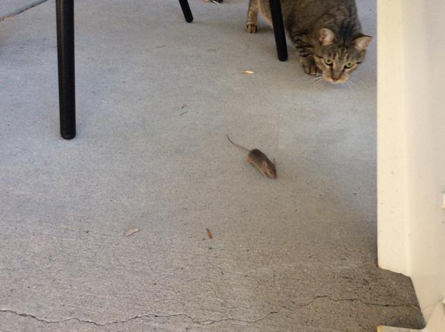tabby mouse patio